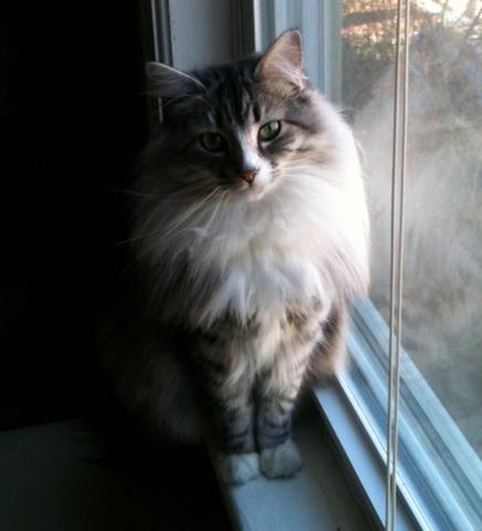 Fluffy Tabby cat