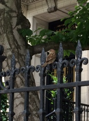 Back Bay, Bird on Wrought Iron Fence