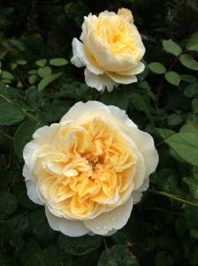 Back Bay, Boston, yellow roses